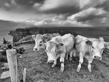 cows-and-cliffs